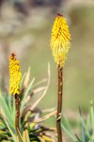 flower of Kniphofia foliosa, Bale Mountains, Ethiopia