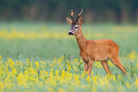 Male roe deer standing in open landscape with flowers from low angle