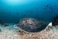 Schwarzflecken-Stechrochen, Malediven