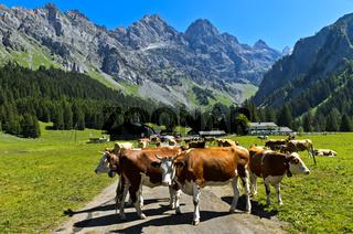 Eine Herde Kühe versperrt den Zufahrtsweg zur Alp von Solalex , Bex, Waadt, Schweiz