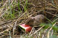 Kleine braune Feldmaus sitzt sitzt im trockenen Gras und frisst ein Stück Wassermelone