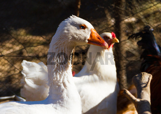 portrait of the goose in the chicken coop on the farm