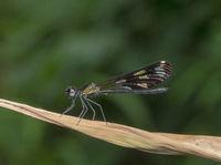 Aristocypha Quadrimaculata, Damselfy, Garo Hills, Meghalaya, India