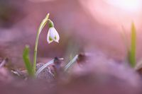 Solitary snowdrop blooming in sunny nature from low angle.