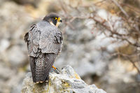 Dominant peregrine falcon standing on rock from back.