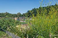 Dutch allotment garden with meliot plant and vegatables