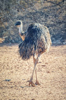 Emu bird in the Australia outback