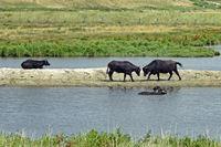 Kämpfende Wasserbüffel (Bubalus arnee) in Schleswig-Holstein, Deutschland