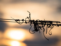 Strings on a wire at a vineyard with sunset