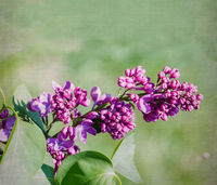 Purple lilac flower close-up over canvas background. Selective focus with shallow depth of field.