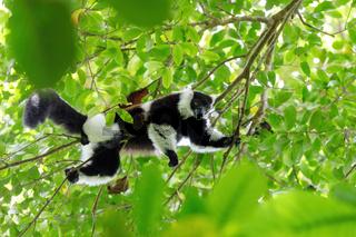 Black-and-white ruffed lemur, Madagascar wildlife