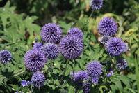 Zierlauch mit lila Blueten
