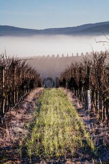 Winter Vines in Yarra Valley Australia