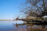 Weide am Ufer des Flusses Elbe bei Magdeburg