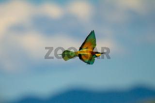 Bienenfresser (Merops apiaster) in Deutschland