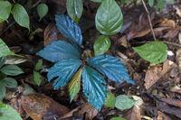 Begonia pavonina, Sabah, Borneo, Malaysia