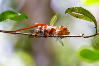 Parson's chameleon, Madagascar Wildlife
