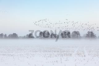 Brandenburg Barnim Wildgänse Winter Winterlandschaft am Morgen, Schnee, Nebel, Morgennebel