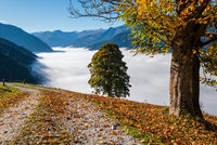 Misty autumn morning mountain and big lonely trees view from hiking path near Dorfgastein, Land Salzburg, Austria.