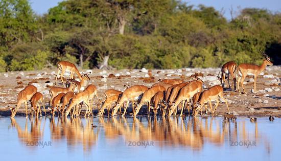 Trinkende Impalas, Etosha-Nationalpark, Namibia, (Aepyceros melampus) | Drinking impalas, Etosha National Park, Namibia, (Aepyceros melampus)