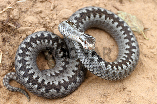 Grey viper or adder venomous snake in attacking or defencive pose rolled in knit on brown spring soil