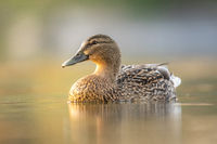 Female mallard duck. Portrait of a duck with reflection in clean lake water causing ripples on water near shore.