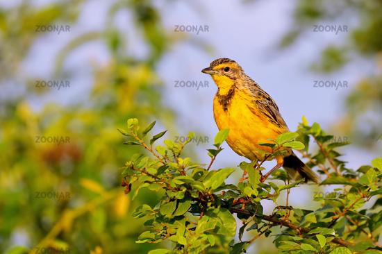 Gelbkehlpieper, Gelbkehl-Langklaue im Queen Elizabeth Nationalpark, Uganda (Macronyx croceus) | Yellow-throated longclaw, Safrango at Queen Elizabeth National Park, Uganda (Macronyx croceus)