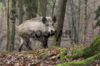Wildschwein im Wald /  Sus scrofa