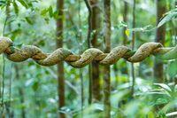 Madagascar rainforest creeper liana