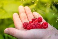 A handful of organic raspberries on green background
