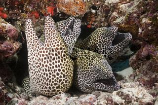 Vier Grosse Netzmuraenen, Malediven