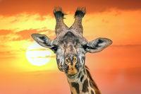 Giraffe-Portrait against sunset