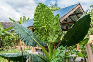 Gigantisches Riesenblättrige Pfeilblatt oder Riesen-Taro in Sumatra Indonesien