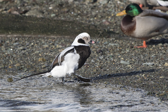 male long-tailed duck who came to the beach at low tide