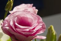 Pink Eustoma flower With waterdrops