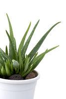 Echte Aloe  -  Aloe Vera