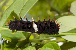 Raupe des Koenigin-Alexandra-Vogelfalter, Papua Neuguinea