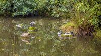 ducks at Lac de Gerardmer