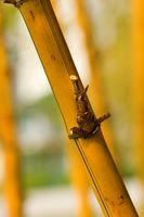 A yellow bamboo