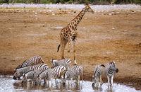 Trinkende Zebras, Etosha-Nationalpark, Namibia | Drinking zebras, Etosha National Park, Namibia