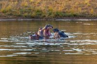 wild hippo, South Africa Safari wildlife