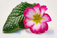 Eine Rosa Weiß gefärbte Blüte einer Primel.