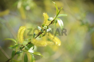 catkins of a willow tree with leaves in springtime.