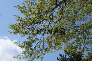 Carpinus betulus, Hainbuche, Hornbeam