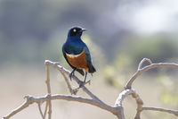 superb starling sitting on branches of a bush in the savannah