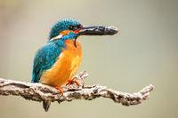 Male common kingfisher holding prey in beak on branch.