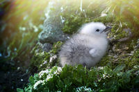 Cute white fluffy chick from cold Arctic. Kittiwake