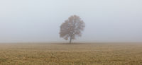 Lonely tree on the empty pasture in the morning mist.