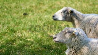 zwei Schafe mit Textfreiraum