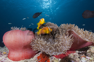 Malediven-Anemonenfisch, Malediven